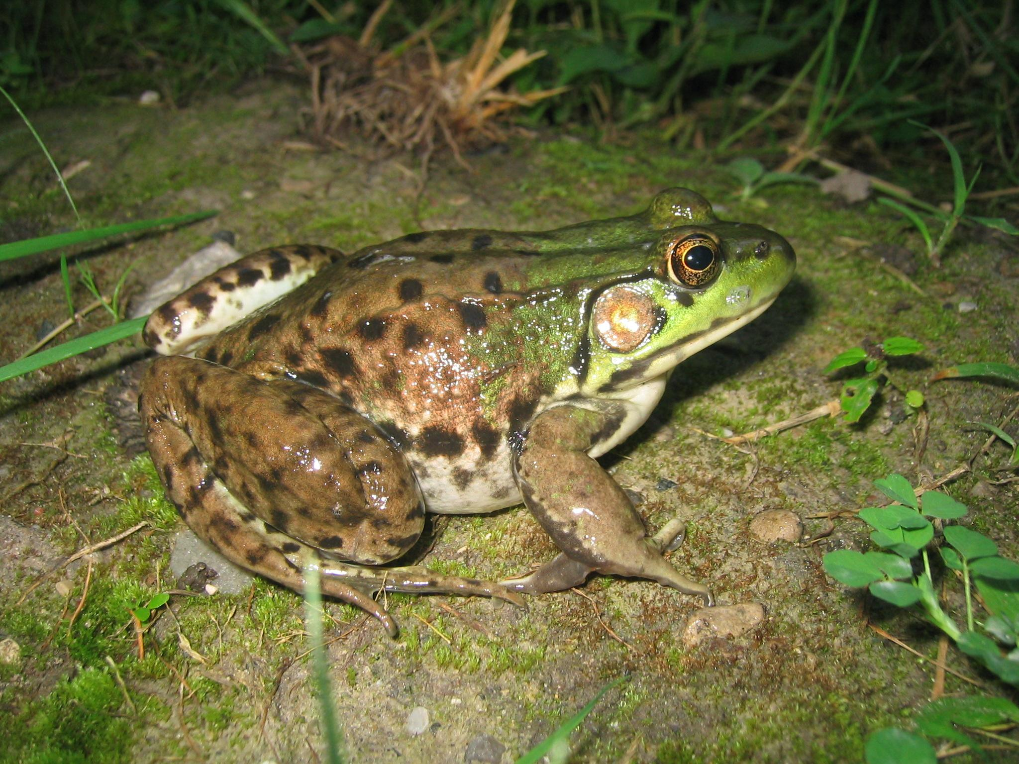 a adult frog